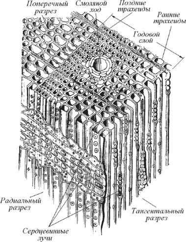 микроскопическое строение древесины картинки они
