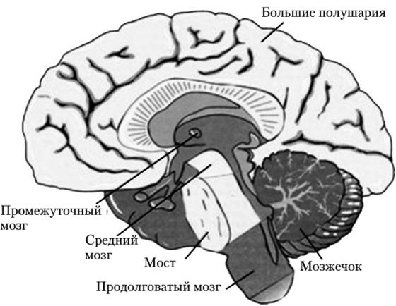 Головной мозг (поперечный срез)