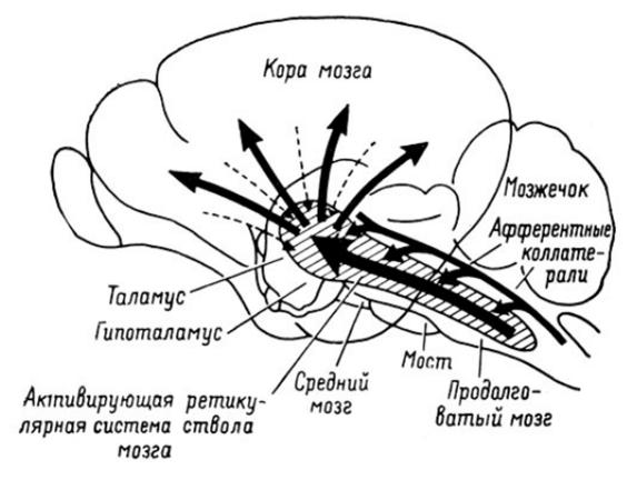 Ретикулярная формация мозгового ствола и восходящие активирующие пути