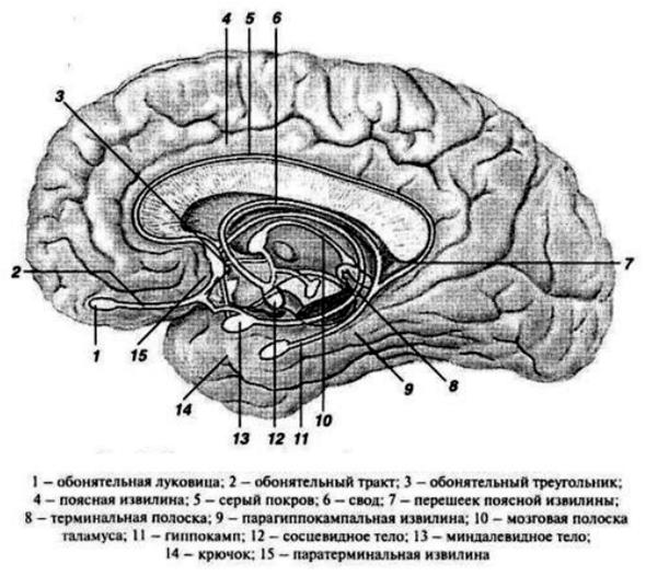 Структуры лимбической системы головного мозга